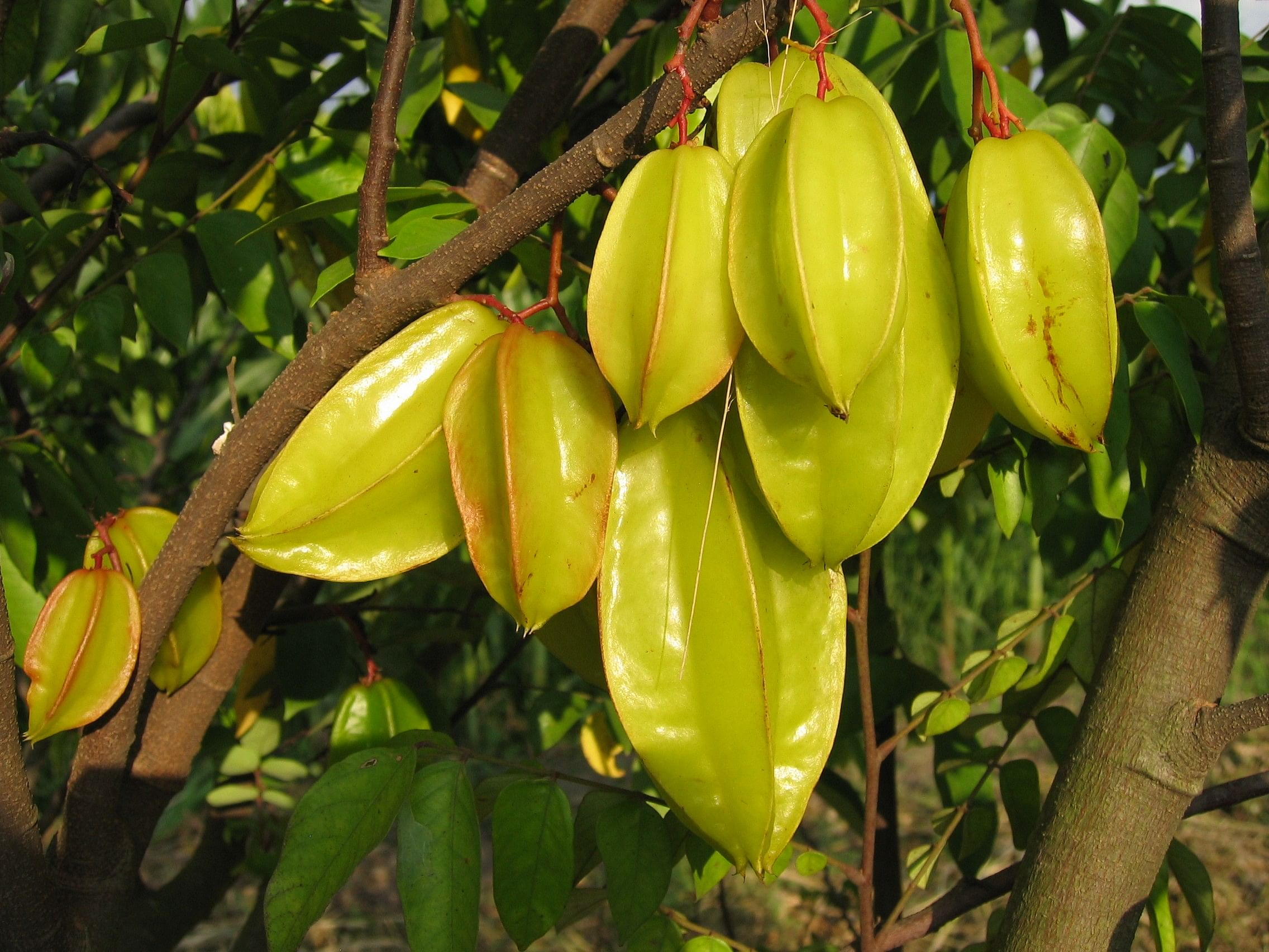 averrhoa_carambola_ripe_fruits_at_ciat_1