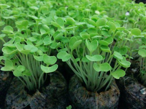 Densely grown seedlings