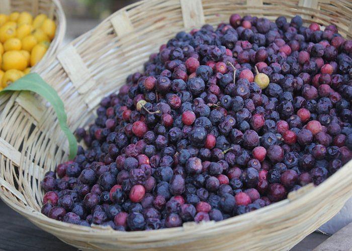 grewia-asiatica-phalsa-fruit-plant-56d175a7a1fc8_l