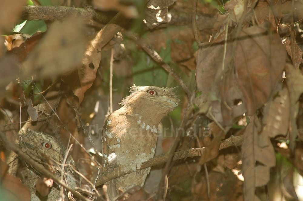 The endangered Ceylon Frogmouth