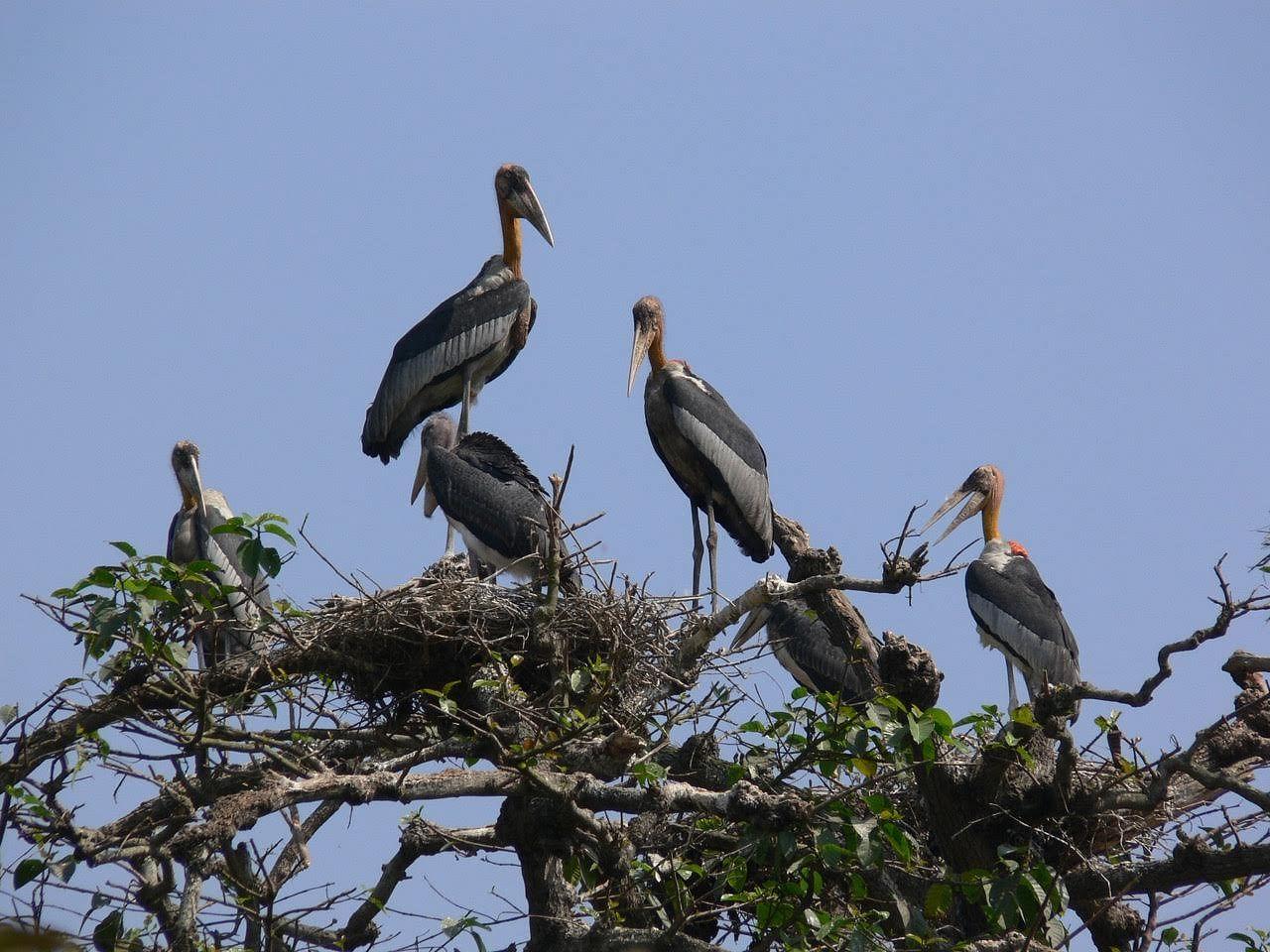 Adjutant Storks