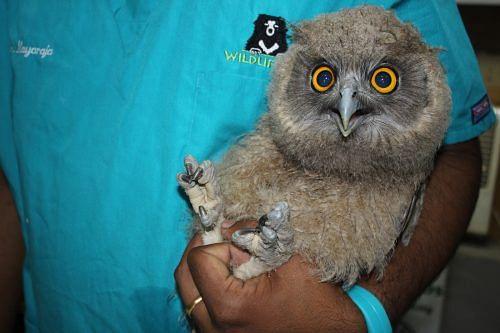 Dusky eagle owl rescued by Wildlife SOS