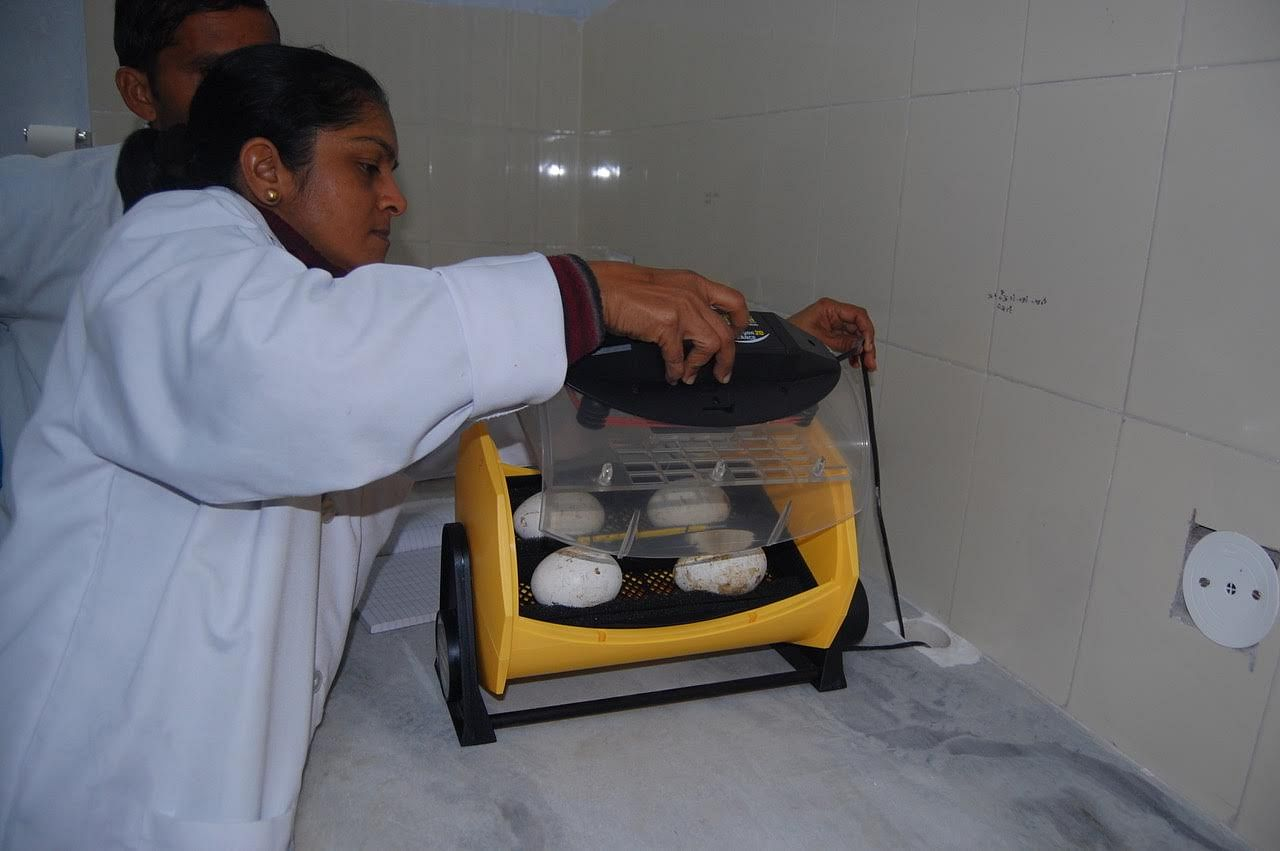 Nikita tending to the incubating eggs