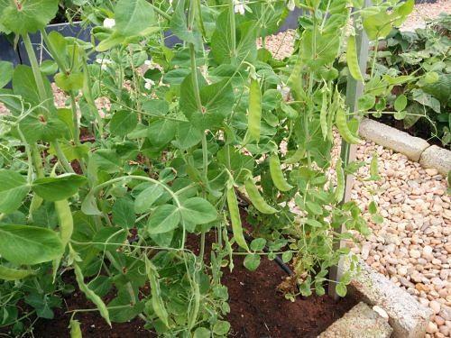 Sugar Peas ready for harvest