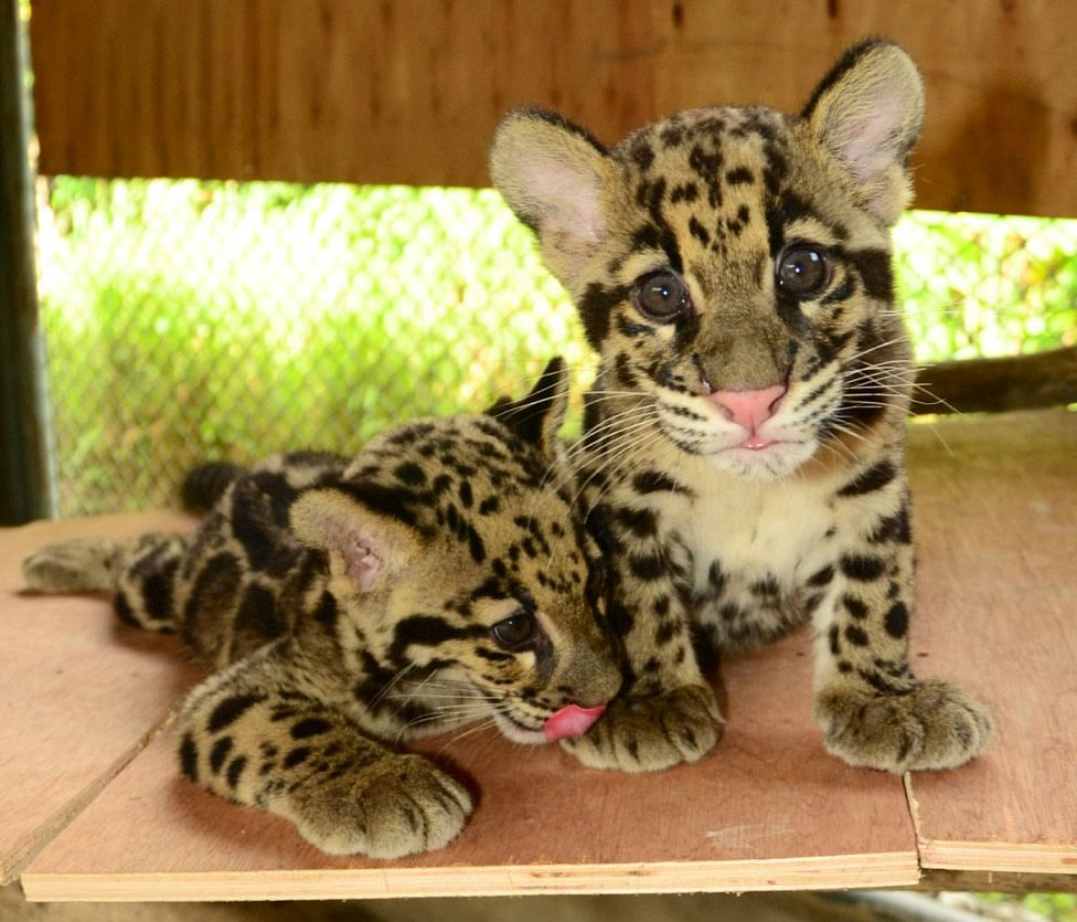 clouded-leopard-cub-1