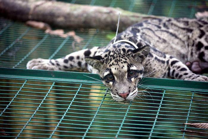 clouded-leopard-_13