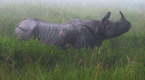 One-horned rhinoceros