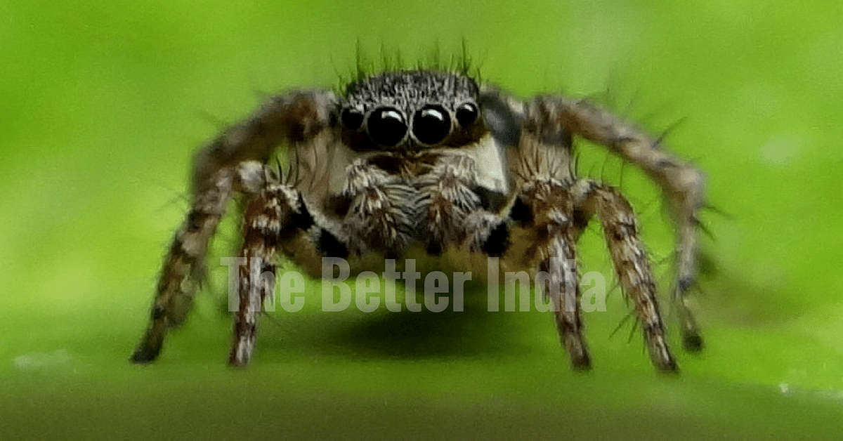 The six new species that Dhruv reported are - Tropizodium viridurbium, Stenaelurillus gabrieli (jumping spiders), Stenaelurillus digitus (jumping spiders), Cambalida tuma (ant mimicking spiders), Cambalida deorsa (ant mimicking spiders) and Tropizodium Kalami.