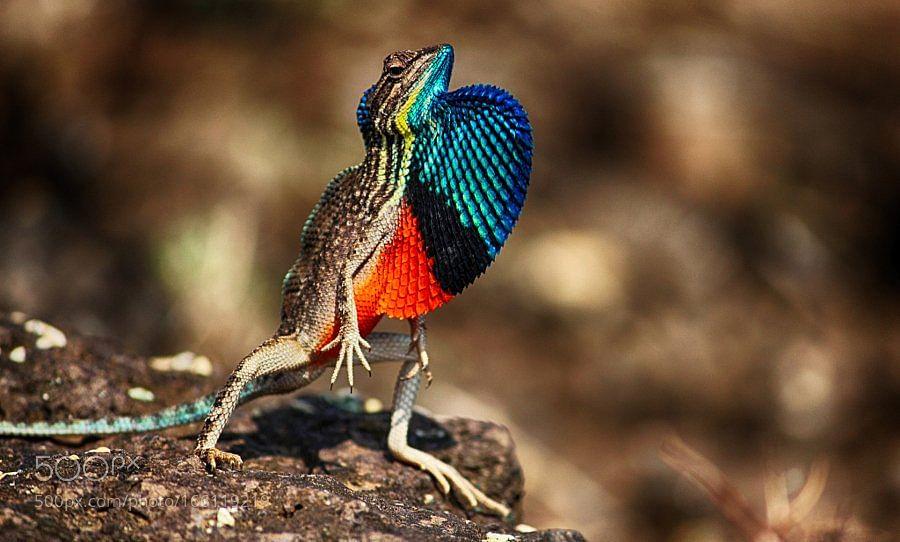fan-throated-lizard