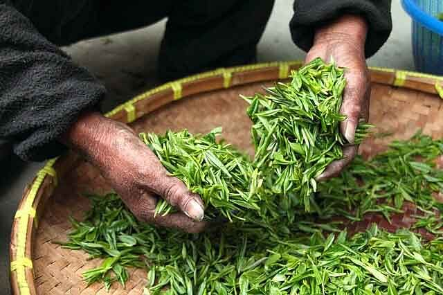 organic-teas-of-assam-buds-and-leaves