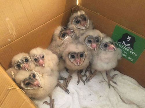 Rescued Barn owl fledglings