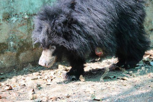 Bear cub rescued by wildlife sos (1)
