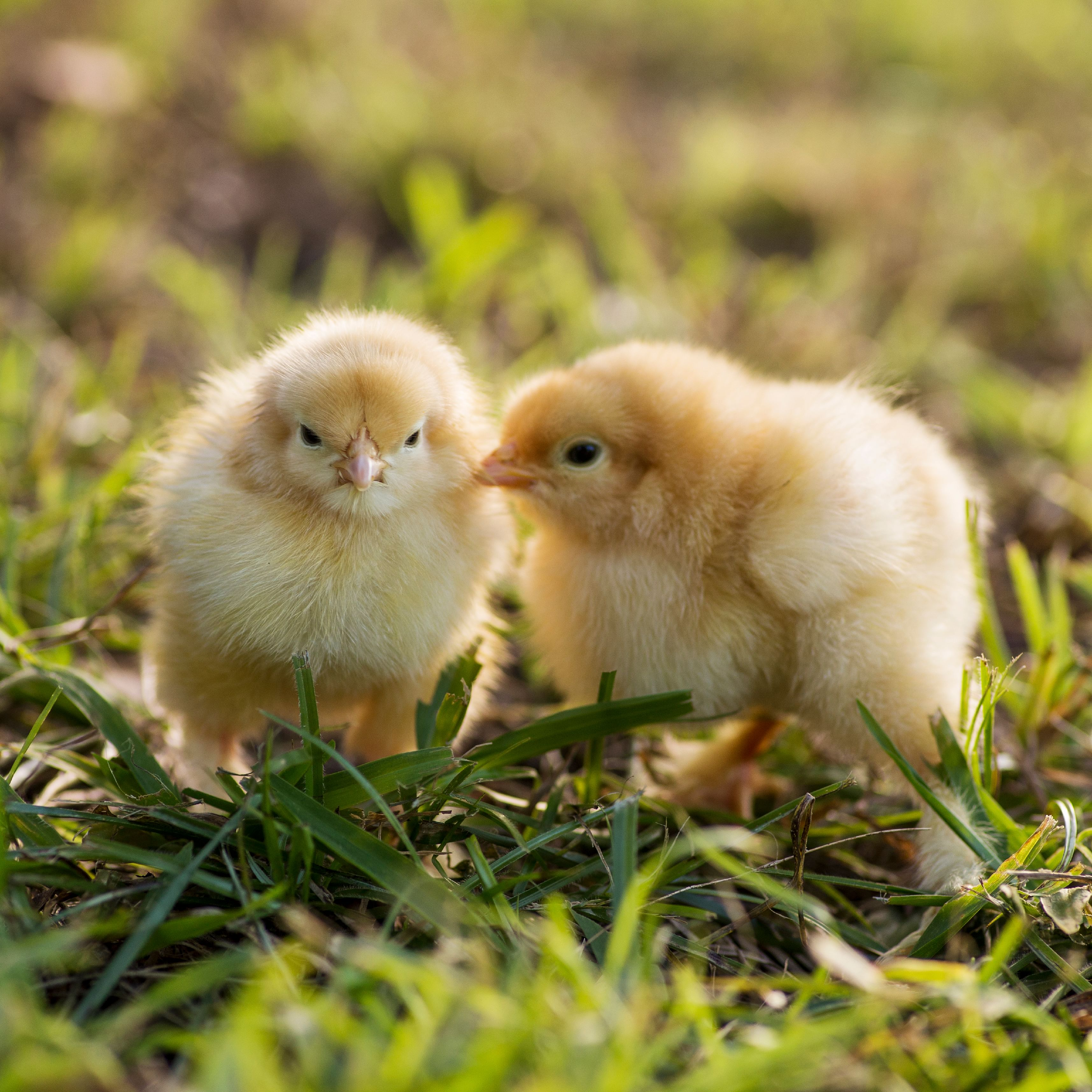 why we need to treat hens and chickens with respect and concern