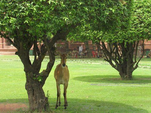 Nilgai resting under a tree near Parliament house