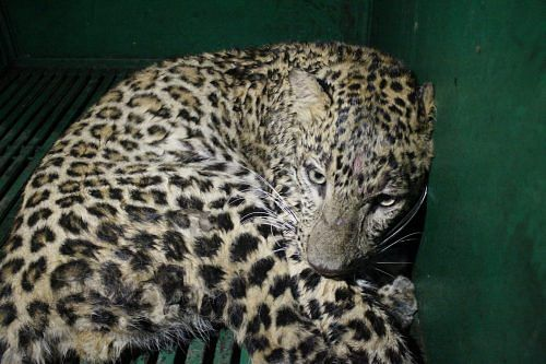 Leopard rescued from a house