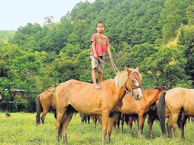 Manipuri-Pony