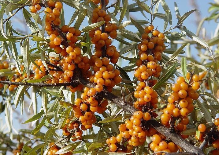 Sea-Buckthorn-seeds-Hippophae-rhamnoides-seeds