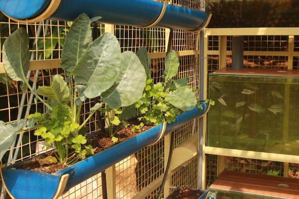 Vegetables in rain water channels