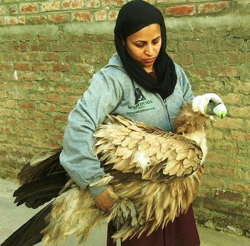 Himalayan Griffon vulture rescued from Dal Lake