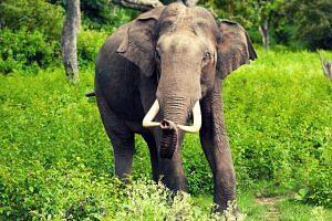 elephant_f
