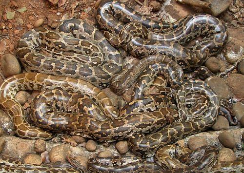 pythons 1 resized