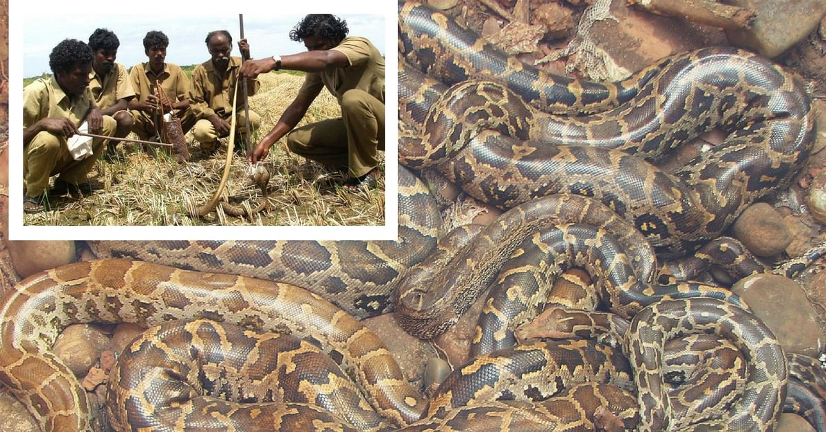 Here's Why Snake Catchers From Tamil Nadu Have Been Called to Florida