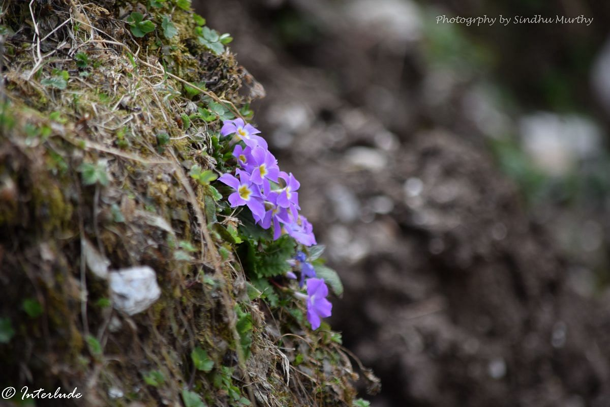 TBI Blogs: Going Trekking to Kedarkantha? Keep an Eye out for These Gorgeous Flowers