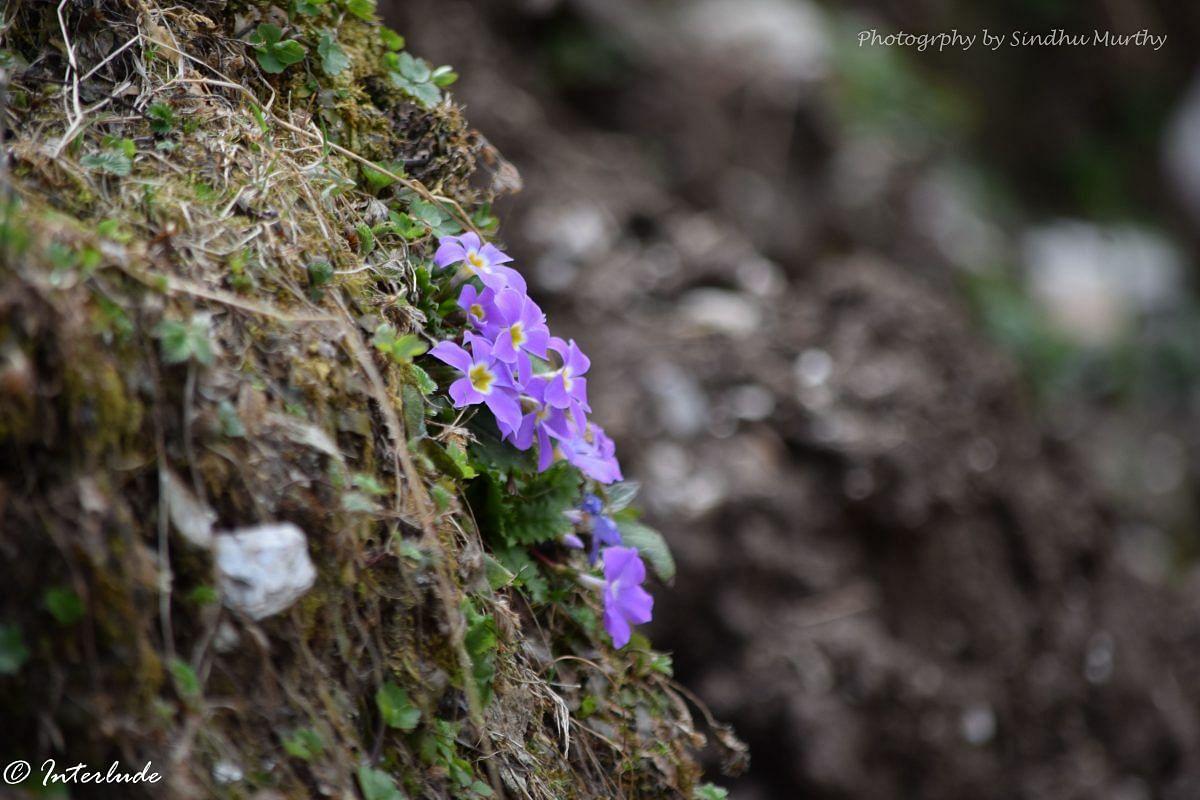 Wild purple primrose