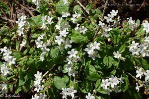 Himalayan lungwort