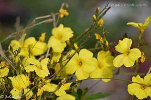 Himalayan flowers on Kedarkantha Trail