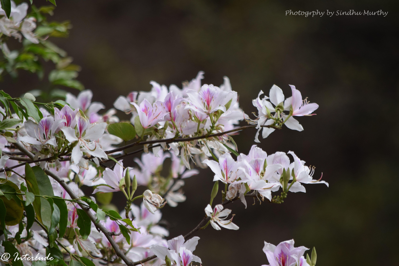 Bauhinia - Himalayan Flowers