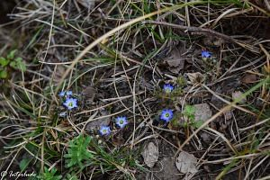 Himalayan Gentian: These lovely purple flowers were so tiny, we hardly could notice on our first gaze.