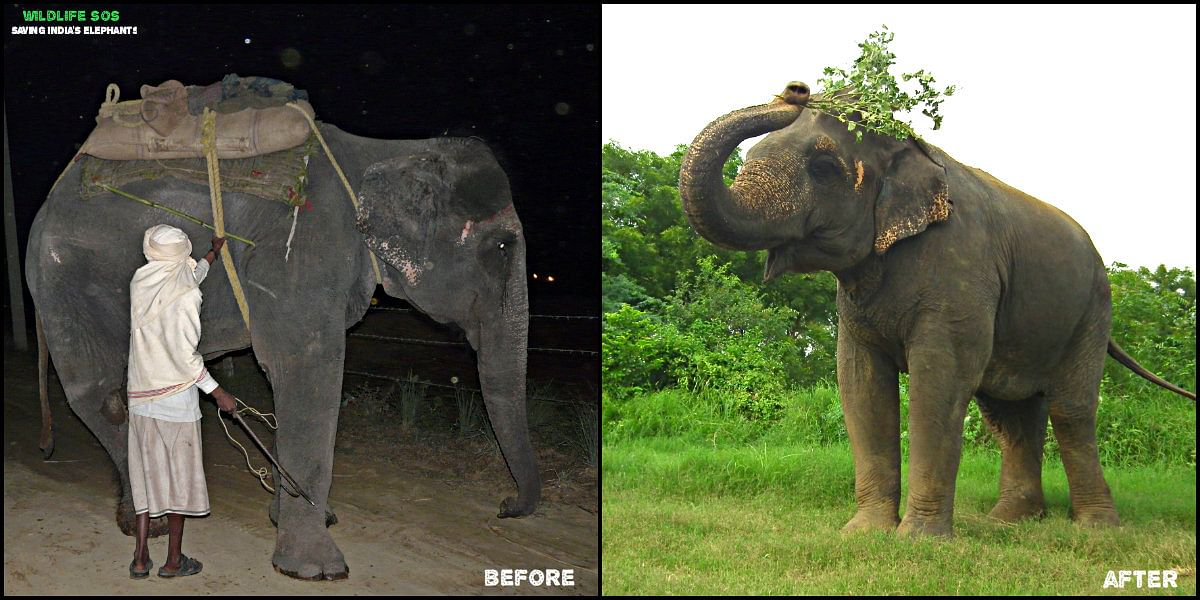 Former begging elephant Bijli, before and after her rescue