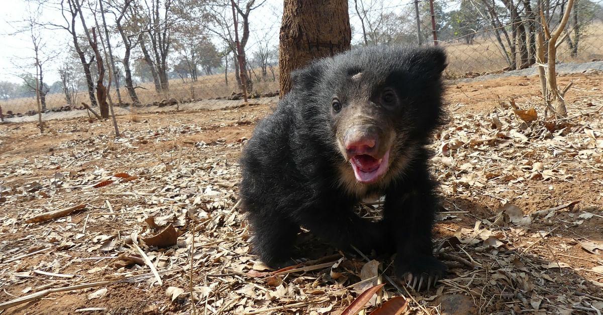 TBI Blogs: Meet Mowgli, the 10-Week-Old Sloth Bear Cub Rescued From Poachers' Trap in Madhya Pradesh