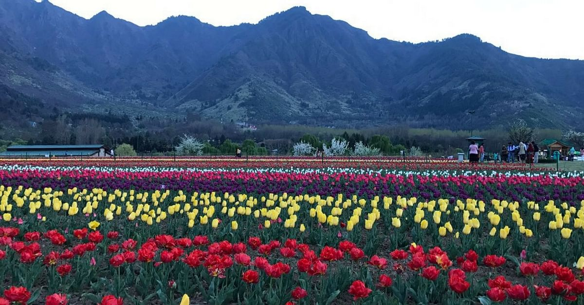 Bahaar-e-Kashmir: Check out Asia's largest Tulip Garden in Srinagar