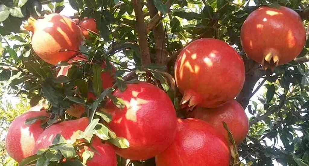 A bunch of bhagwa pomegranate ready for harvest. (Photo by Mahatma Phule Krishi Vidyapeeth)