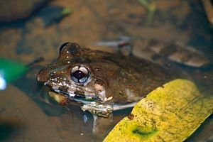 four-new-species-frogs-representational image