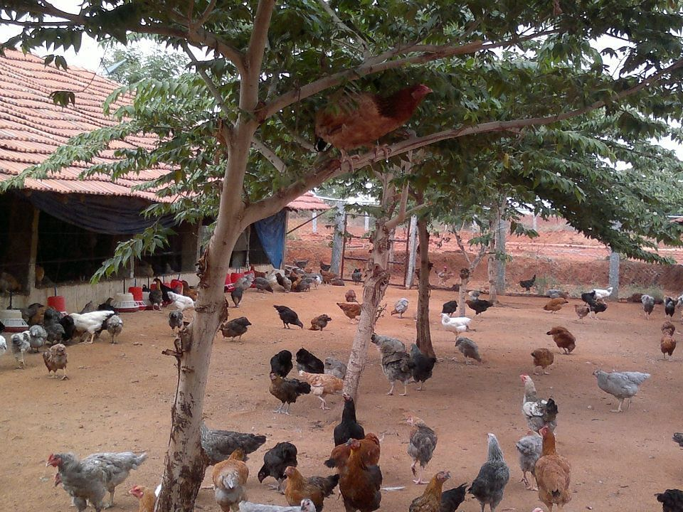 Backyard poultry farming in india pdf download