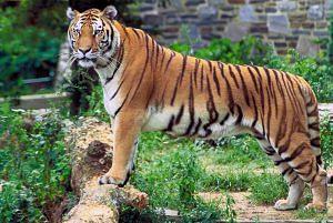 tiger-population-rise-uttarakhand