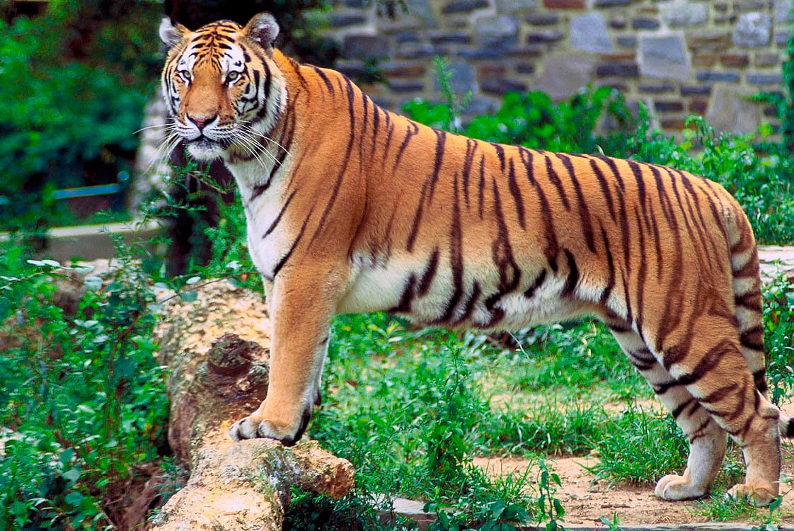 tiger count up by 60 in 3 years in uttarakhand the tiger capital of