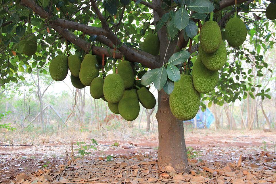 Jackfruit galore