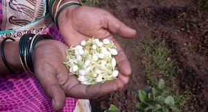 Sangita Mharte supplements the family income by selling jasmine flowers harvested from her land. (Photo by BAIF)