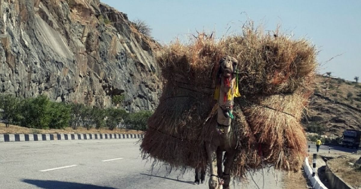 Death of a Camel: How Wealth and Security Revolve Around One Animal