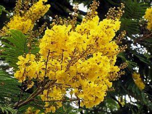 Peltophorum Pterocarpum (yellow flame tree)