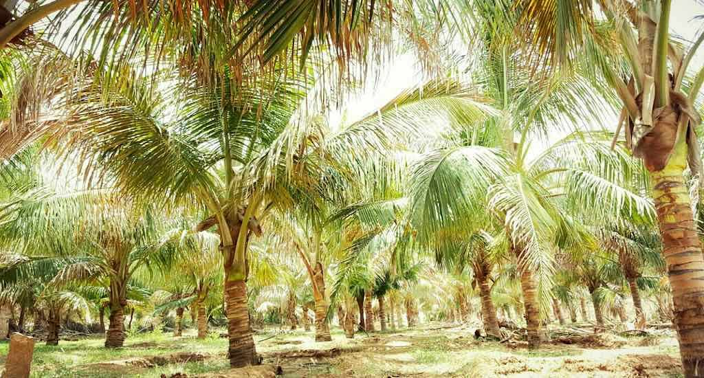 Rajpurohit's coconut farm in the desert state of Rajasthan is an inspiration to many prospective growers in the region. (Photo by Hiren Kumar Bose)