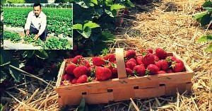 Strawberry cultivation-Rajasthan-Chittorgarh
