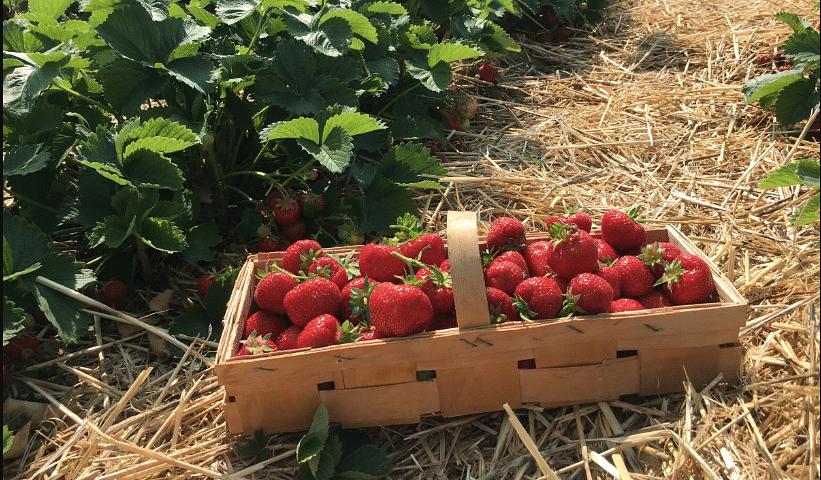 Strawberry cultivation-Rajasthan-Chittorgarh