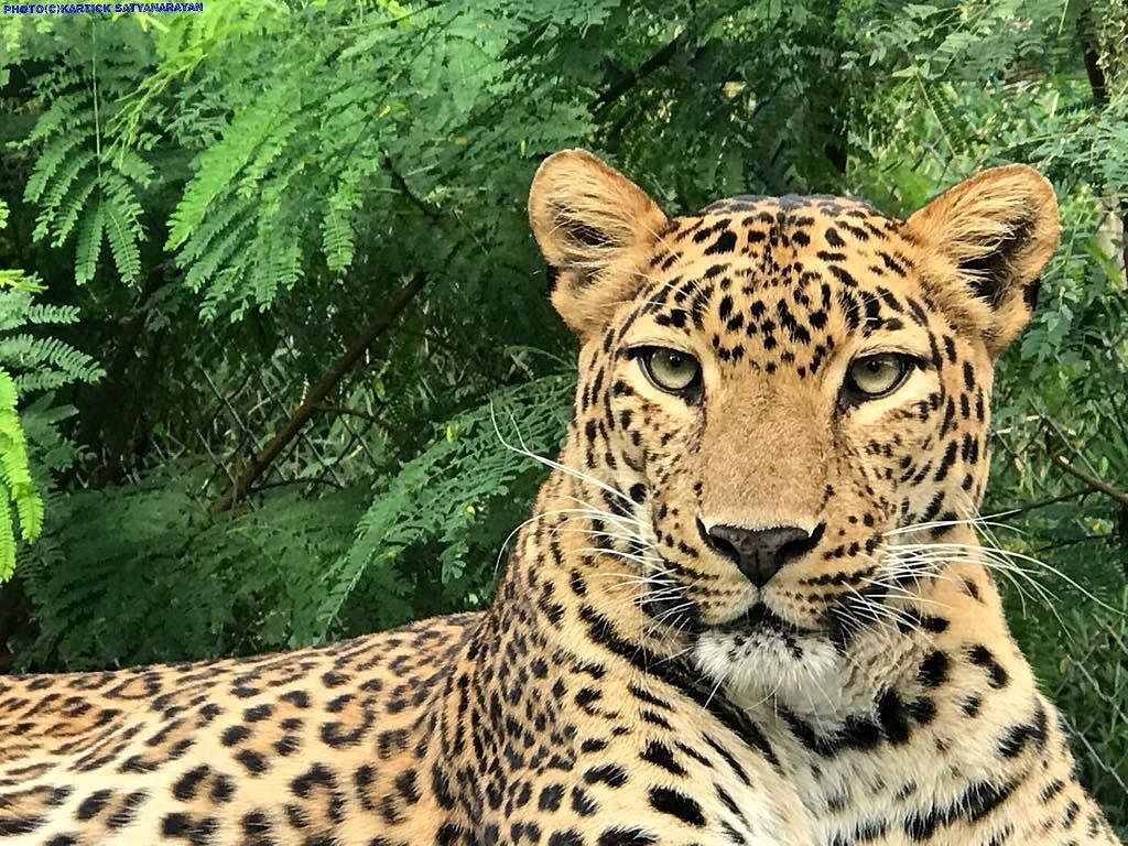 What to Do If a Leopard Wanders Into a Village? A Microchip Will Rescue the Cat!