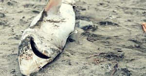 Dead Shark Washed Up on Shore. Picture for representative purposes only. Picture Credit: Flickr.