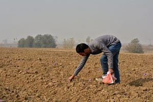 Collecting the saffron harvest. Image by: Qazi Wasif